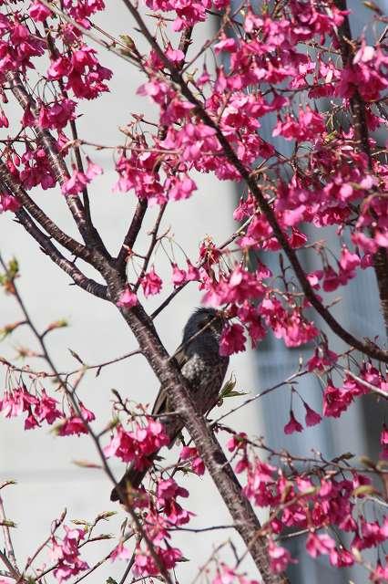 増井紅房桜
