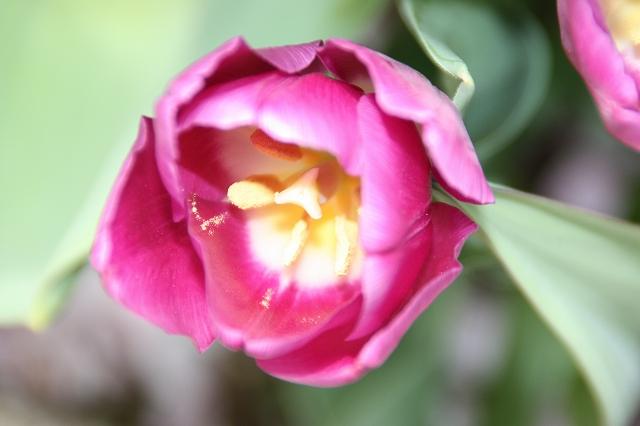 tulip_ワインレッド