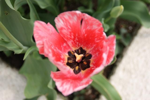 tulip_赤霜降り
