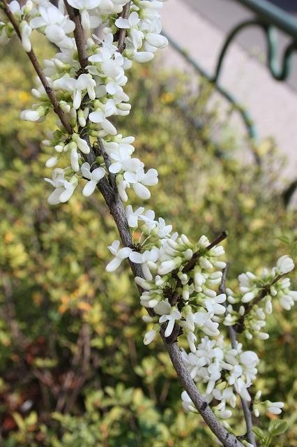 白の花蘇芳