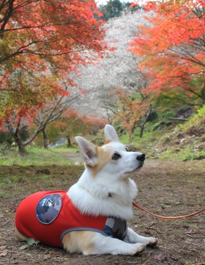 四季桜祭り小原村