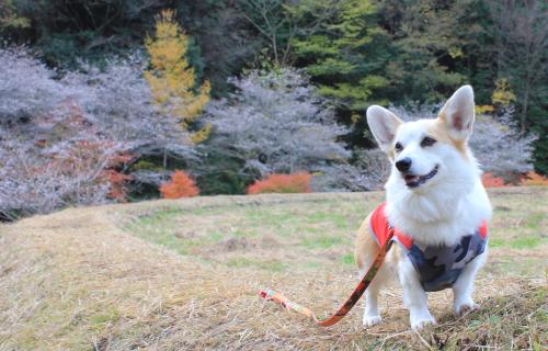 紅葉と桜とあかね