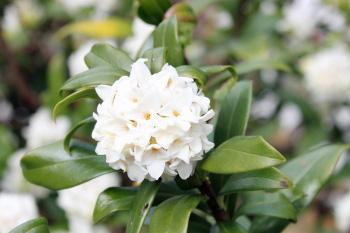 白花 沈丁花