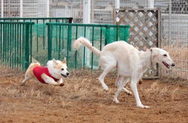 狩猟犬を狩る牧羊犬