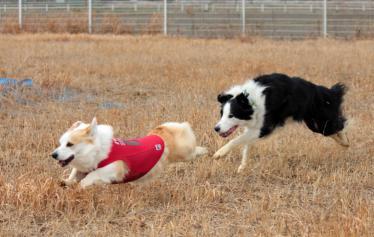 牧羊犬を狩る牧羊犬