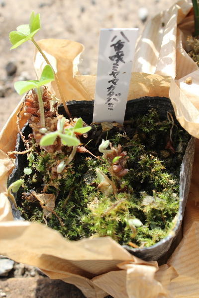 120402YaeMiyamaKatabami.jpg
