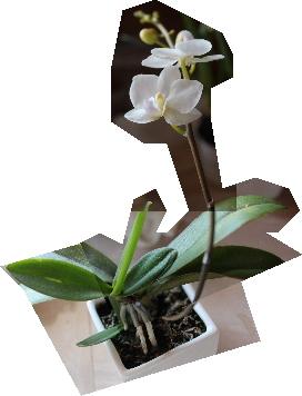 ファレノプシス 高芽から開花