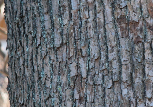 クスノキ 樹皮
