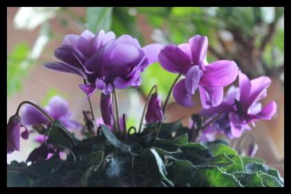 シクラメン 紫八重