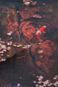 紅葉と鯉。
