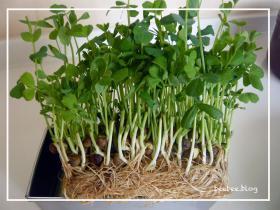 豆苗植え方