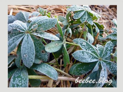霜のおりたルピナス