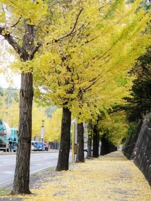 銀杏の道 (1)