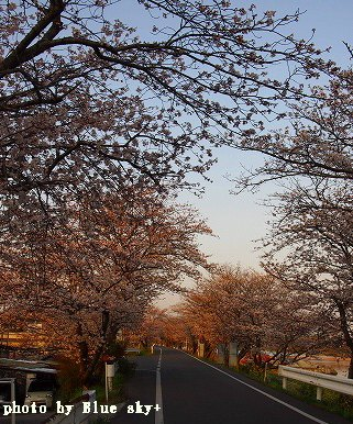 夕暮れの桜トンネル