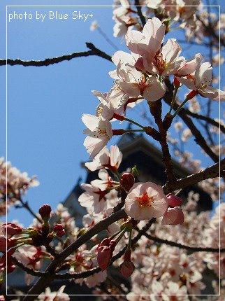 小倉城と桜2