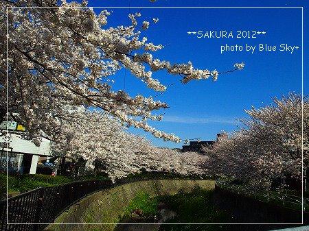 守恒桜並木