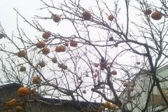 柿木_600