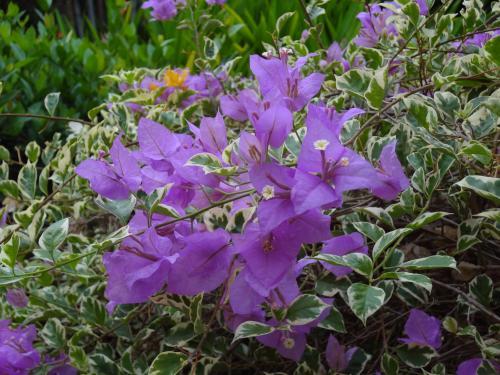 インドネシアの花1 500
