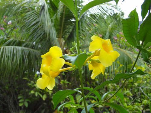 インドネシアの花11 500