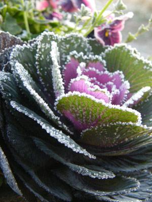凍った葉牡丹