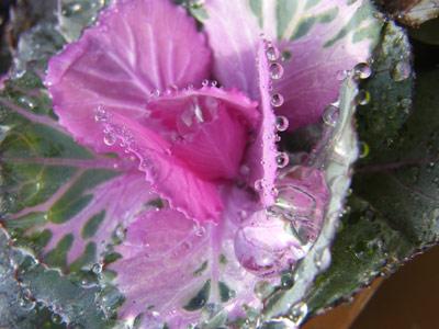 水玉葉牡丹2