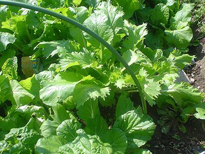 種取りクラブ2014白菜