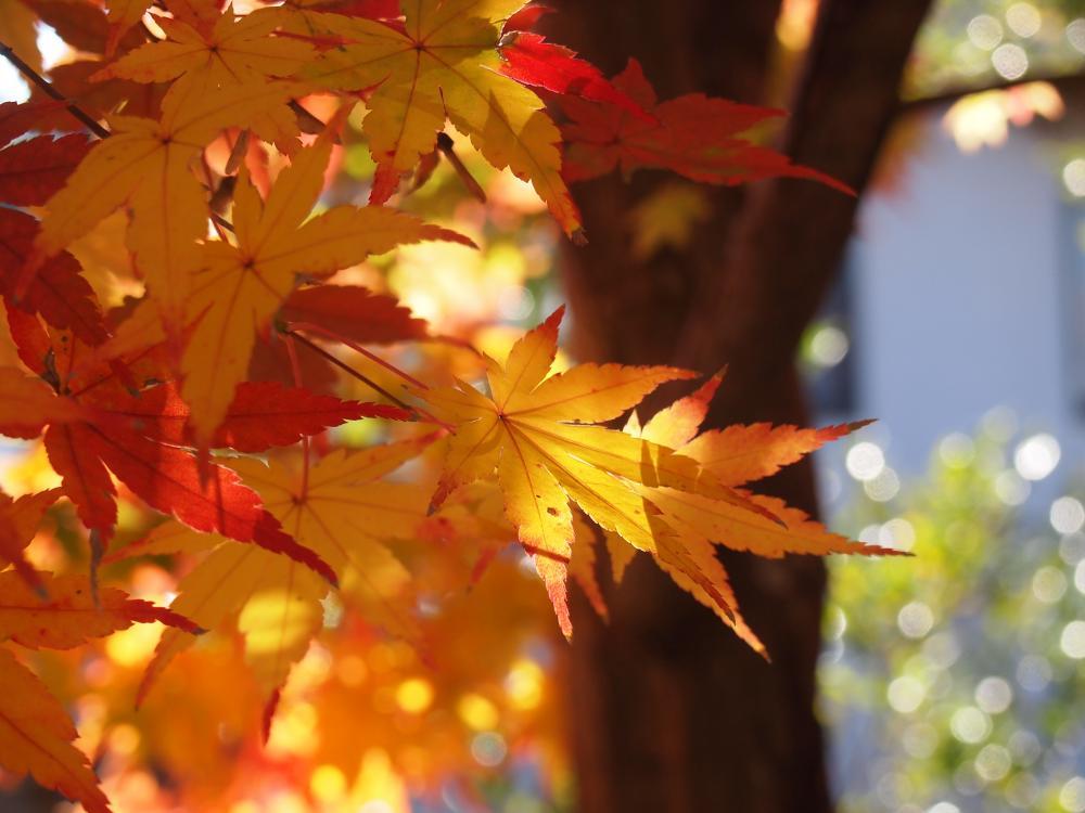 小池邸 紅葉