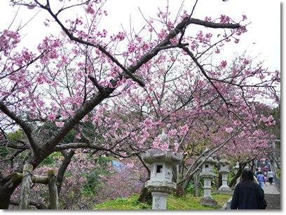 nagosakura2.jpg