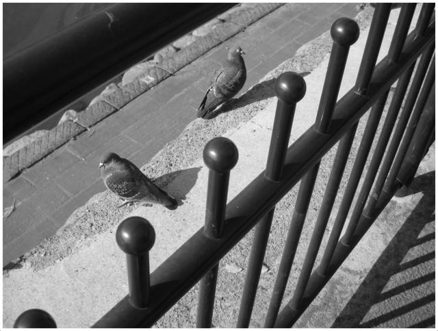 柵のむこうの鳩