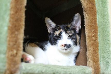 名無しの三毛猫♀、生後7か月位、不妊手術済
