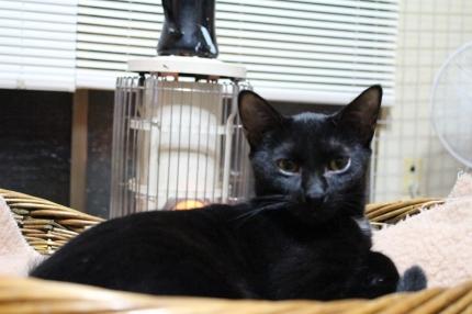 名無しの黒キジ♀、生後7か月位、不妊手術済