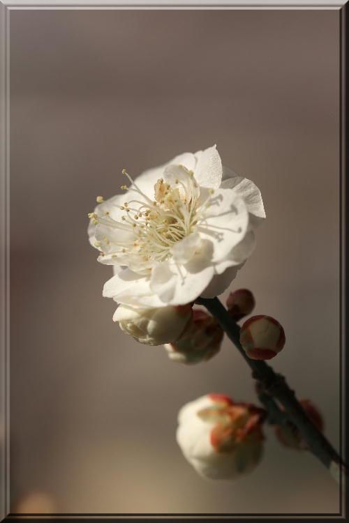盆栽の白梅-1