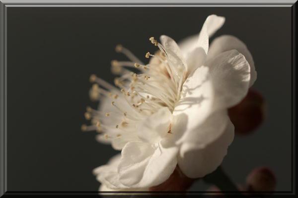 盆栽の白梅-2