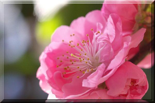 南京桃-ピンク