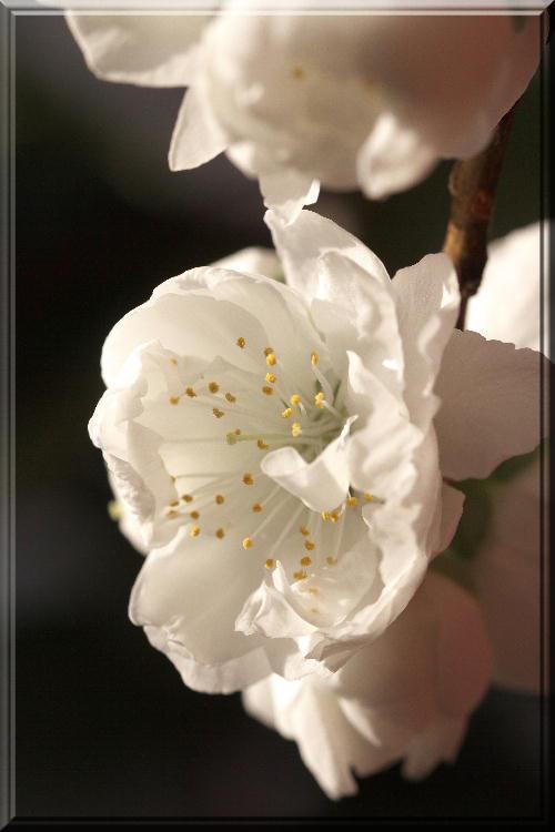 南京桃-白