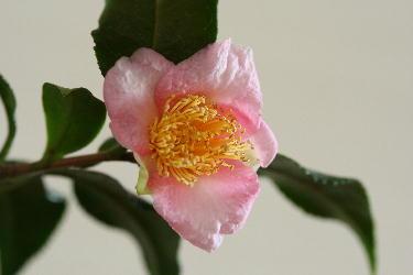 IMG_0051盆栽の椿.jpg