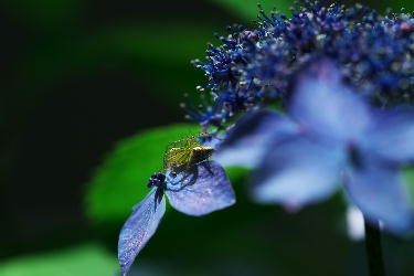 IMG_0857.jpg紫陽花に蜘蛛.jpg