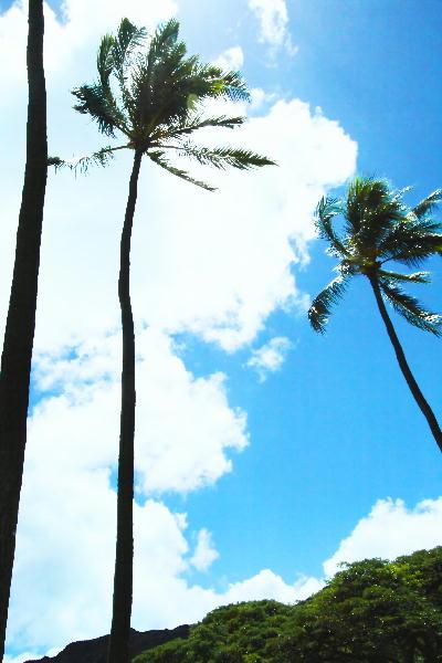 IMG_2456.jpgワイキキビーチの椰子.jpg-4.jpg