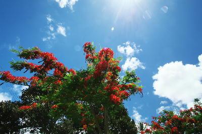 IMG_2472.jpg 大きな樹の赤い花.jpg