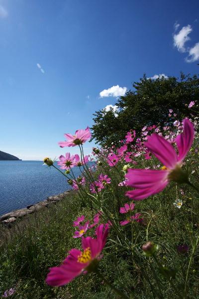 IMG_0621.jpg琵琶湖・コスモス-621.jpg
