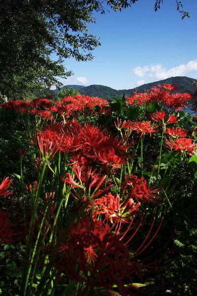 IMG_0630.jpg琵琶湖と彼岸花-630-2.jpg