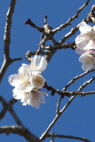 IMG_3468.jpg身延山-お会式桜.jpg