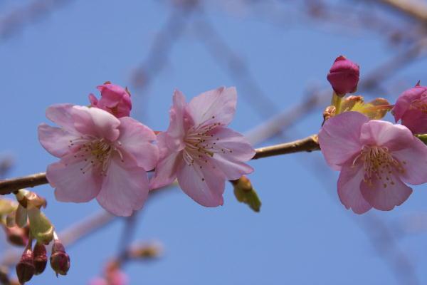 IMG_4737.jpg-四季桜.jpg