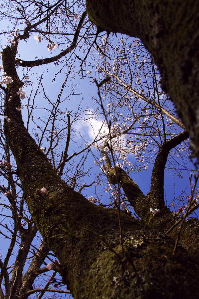 IMG_7035.jpg 35-2 桜.jpg