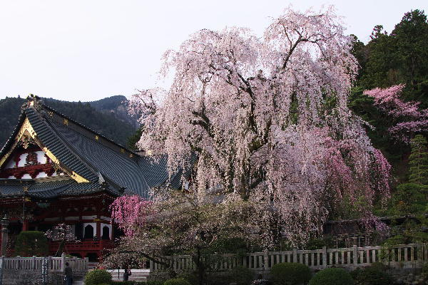 IMG_7129.jpg 29-身延の桜.jpg