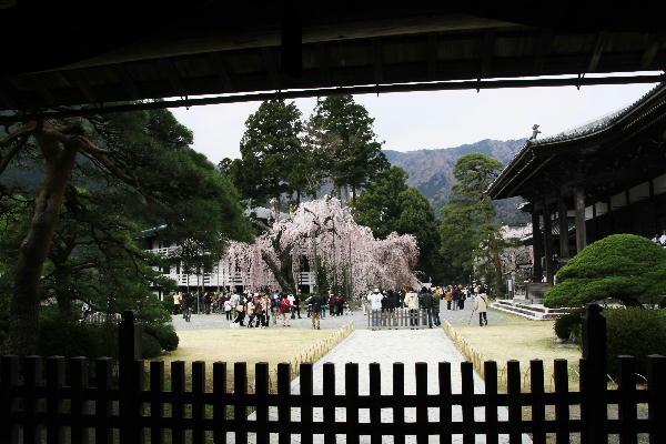 IMG_7187.jpg 87-身延の桜.jpg