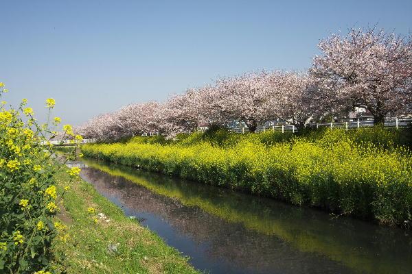 IMG_7441.jpg 桜と菜の花.jpg