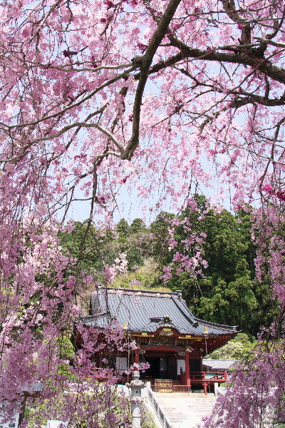 IMG_7723.jpg 23-八重の枝垂れ桜.jpg