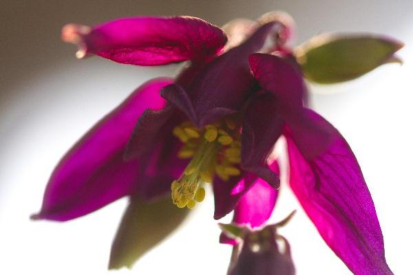 IMG_8073.jpg 73-2-2オダマキの紫.jpg