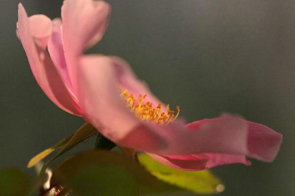 IMG_8006 06-2-2ピンクの薔薇.jpg